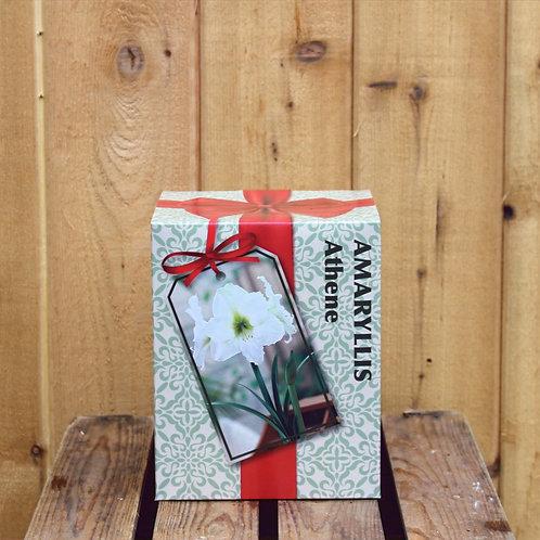 Amaryllis Bulb Kit White