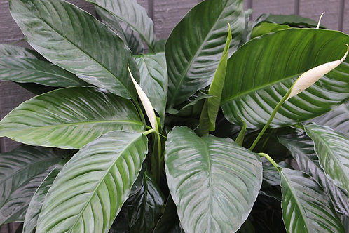 """Peace Lily 8"""""""