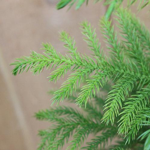"""Norfolk Island Pine 6"""""""