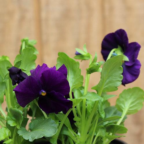 "Purple Pansy 6"""