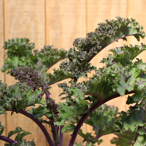 "Ornamental Redbor Kale 8"""