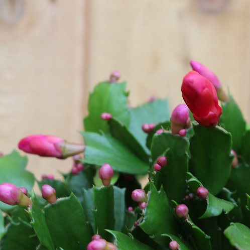 "Christmas Cactus 6"" Pink"