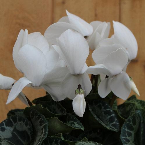 """Cyclamen 6"""" White"""