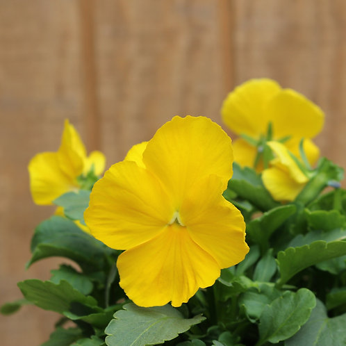 Yellow Pansy 6""