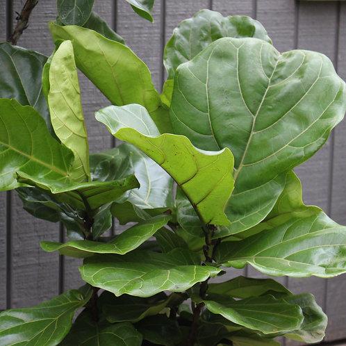 """Fiddle Leaf Fig Bush 10"""""""