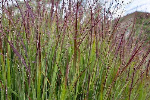 Panicum 'Shenandoah' Switch Grass 1 Gallon