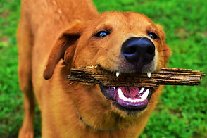 Dog Chewing Stick
