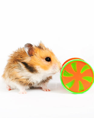 hamster wheel with a toy isolated on a w