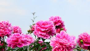 立てば芍薬 座れば牡丹 歩く姿は百合の花