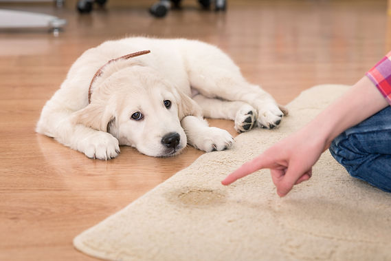 Carpet Pet Stain Removal Northamptonshire