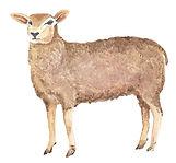 sheep-editd.jpg