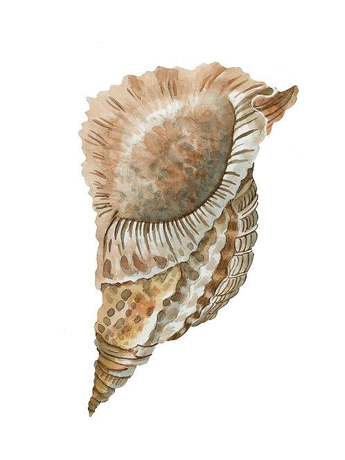 """Seashell V"""