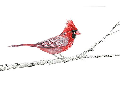 Cardinal on Birch I