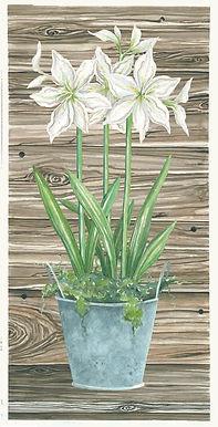 white amaryllis-gray-1.jpg