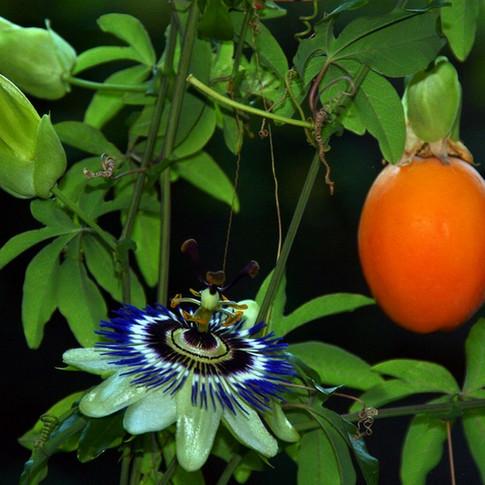 Пассифлора (страстоцвет) - СТРАСТЬ