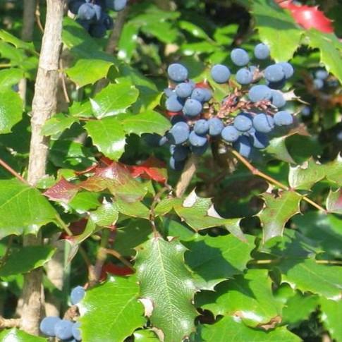 Корень орегонского винограда - ВНЕШНЕЕ