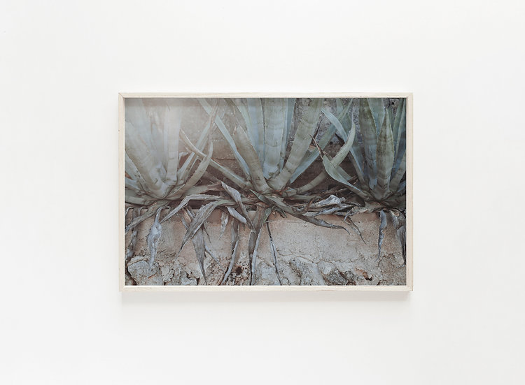Fine Art Print Aloe III