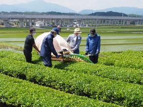 2021 茶摘みと製茶の様子