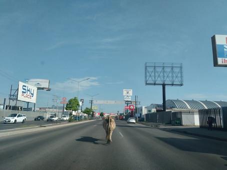 Vaca causa revuelo por los bulevares de Hermosillo