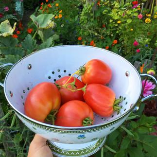 A delicious tomato harvest!