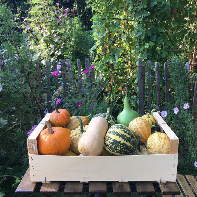 Pumpkin harvest 2018