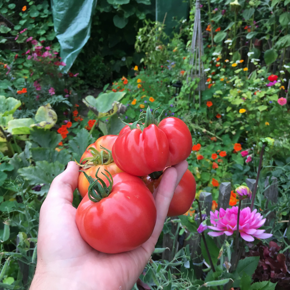 """Coeur de Boeuf"" tomatoes"