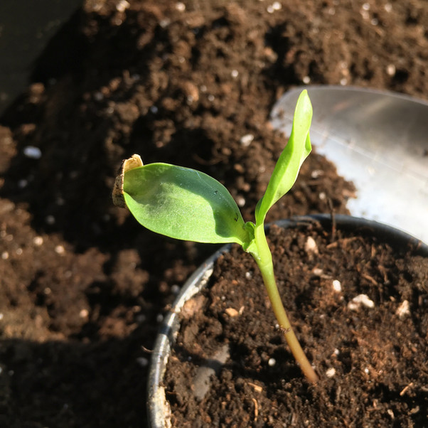 A sunflower seedling