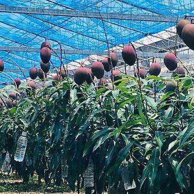 Mangoes in June.