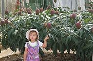 Okinawa Mangoes