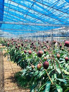 Mangos in June 6月のマンゴー