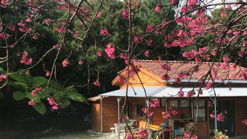 cherry blosom at cottage
