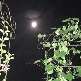 Moonlight Morning Glory
