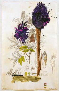 Flora Brasiliensis #206