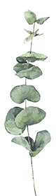 eucalytpus1 copie.png