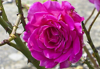 Picture of an in bloom purple rose and several thorns