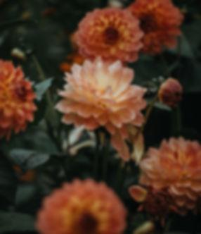 Arancione Dahlia