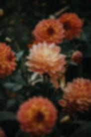 オレンジダリア