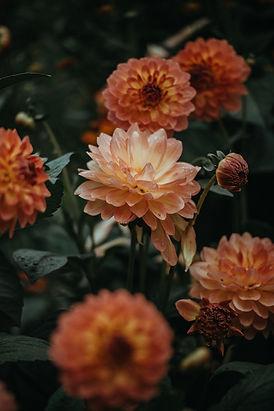 橙色大麗花