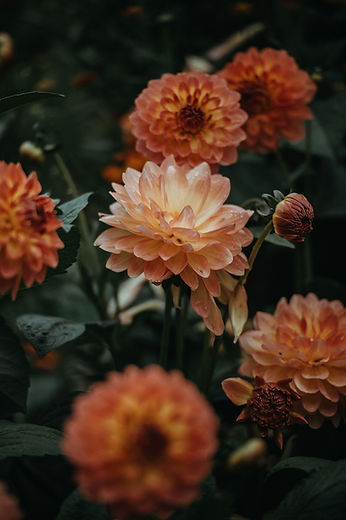 oranje Dahlia