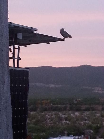 great_horned_owl_on_tree.jpg