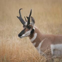 Antelope_GamePage.png
