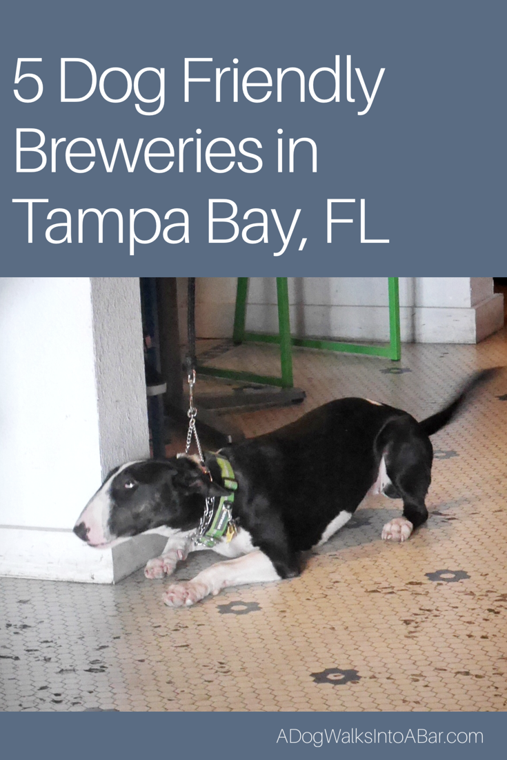 Zoe at dog friendly brewery Cycle Brewing Company in St.Petersburg Florida