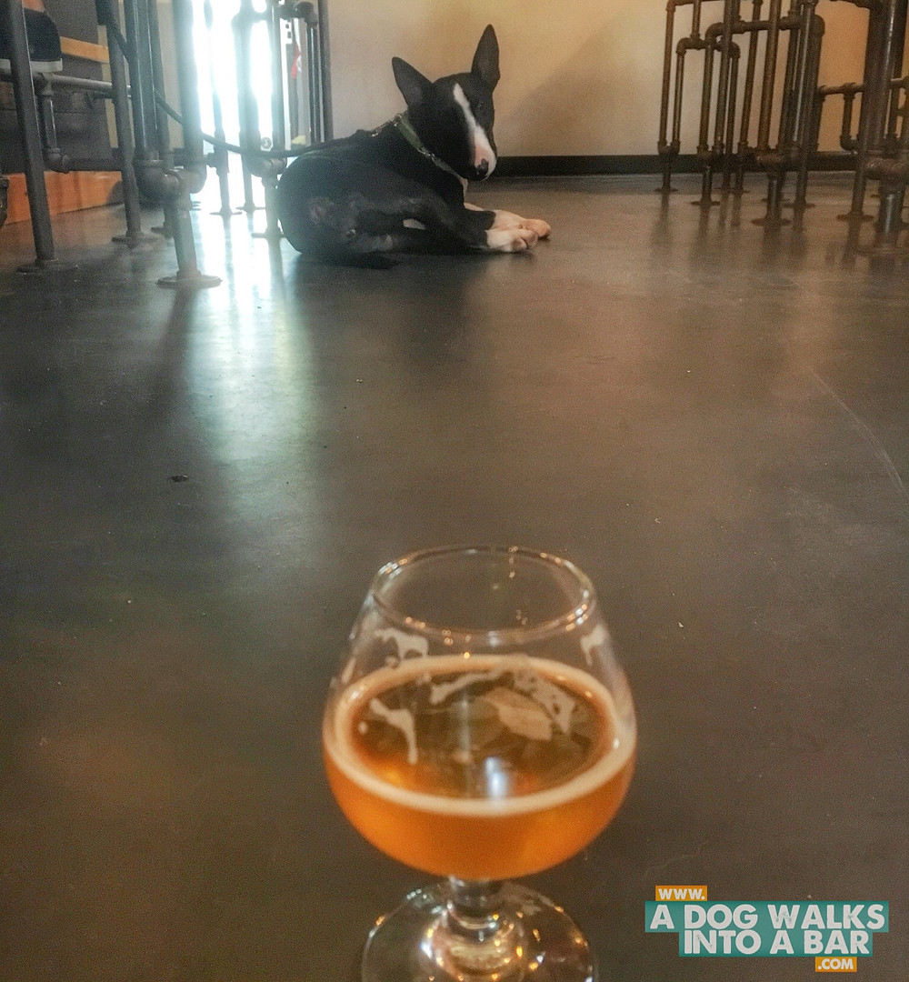 Zoe the bull terrier at dog friendly brewery Angry Chair in Tampa Florida