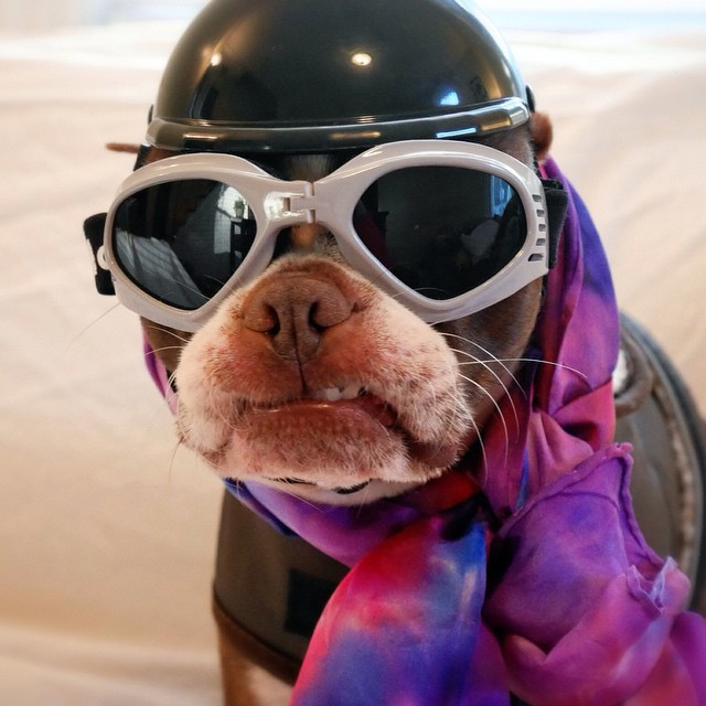 Biker Bean as the BlogPaws or Bust Photo Winner 2015