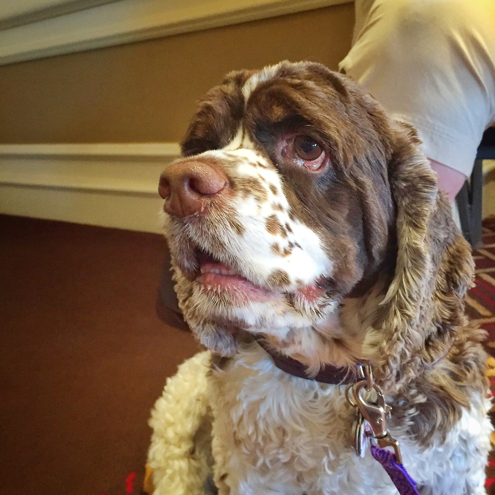 Dexter at BlogPaws in Nashville 2015
