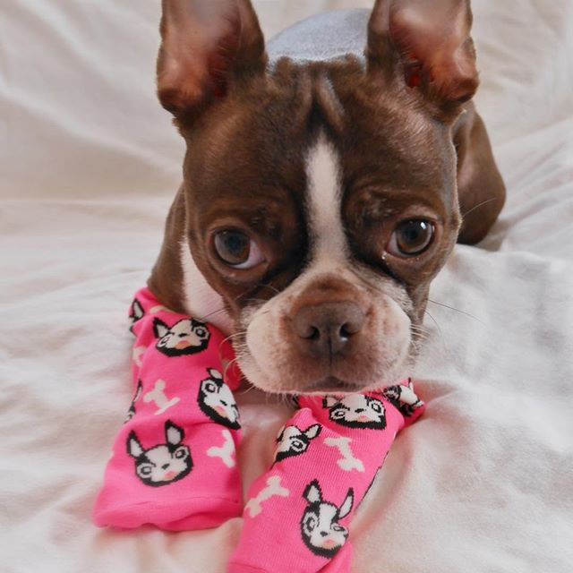 What's that?  Not everyone has Boston Terrier Socks?