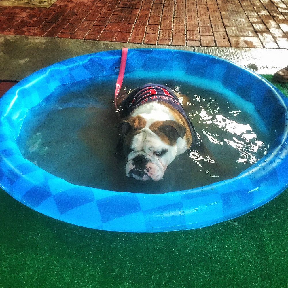 A Smart Bulldog cools off at Fenway Park