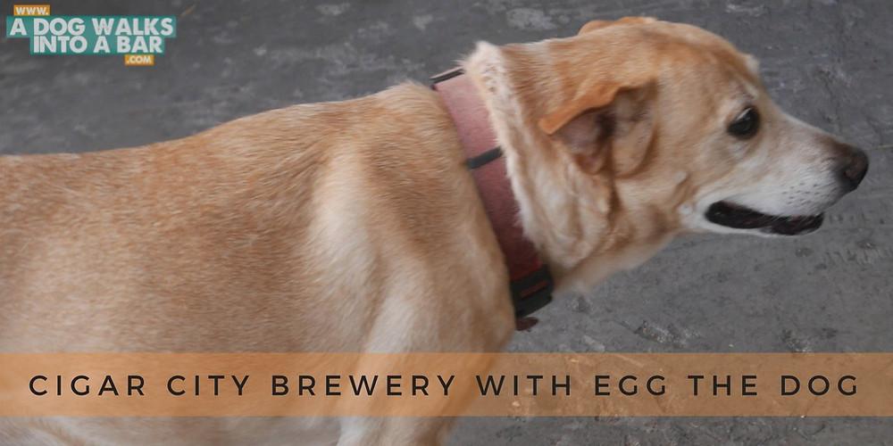 Egg the dog at cigar city brewery