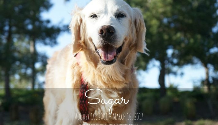 Sugar the Golden - photo from http://www.sugarthegoldenretriever.com/