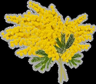 mimosa-4846999_1920.png